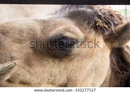 camel in the zoo - stock photo