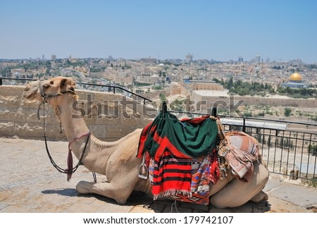 Camel is relaxing on the top of Mountain of Olives which is a mountain ridge east of and adjacent to the Jerusalem's Old City. It is named for the olive groves that once covered its slopes - stock photo