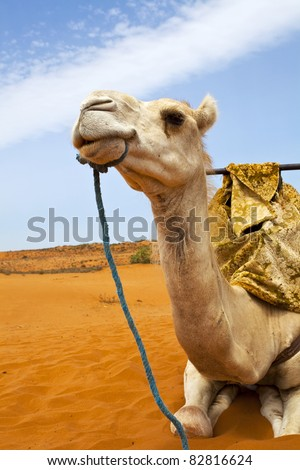 Camel on desert - stock photo
