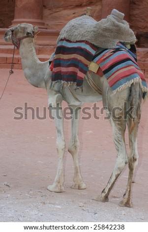 camel Petra - stock photo