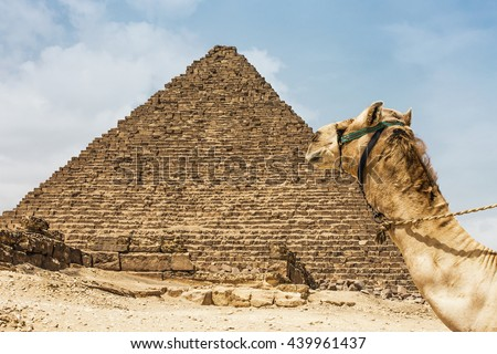 camel pyramid egypt. Camel near the Great Pyramid of Menkaure. Egypt, Giza - stock photo