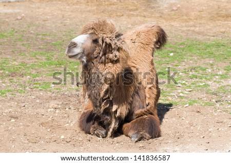 Camel resting - stock photo