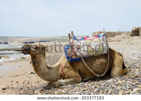 Camel resting on the beach in morocco in bright sunshine - stock photo