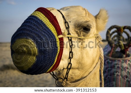 Camel riding in Dubai, in the United Arab Emirates - stock photo
