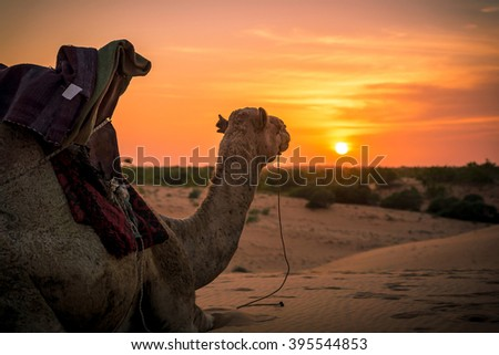 Camel sitting and looking at the beautiful sunset in the desert - stock photo
