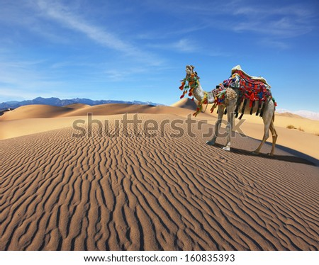 Camel Song. Dromedary yells at the sand dunes. Dromedary decorated with picturesque harness and bright red  - stock photo