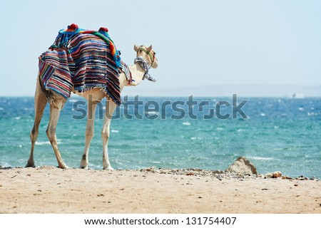 Camel standing at Red Sea beach coast with blue sky in egypt. - stock photo