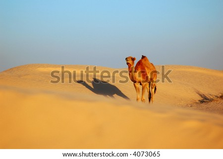 Camel standing on the sand dune - stock photo