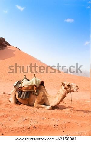 Camel  take a rest in Wadi Rum red desert, Jordan, - stock photo