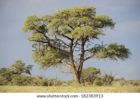 Camel Thorn Tree (Acacia erialoba). A long-lived specie highly adapted to survive severe drought and fire, they dot the landscape along fossil rivers in the Kalahari desert, South Africa. - stock photo