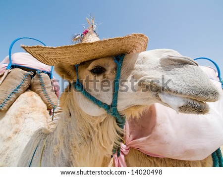 Camel with a hat - stock photo