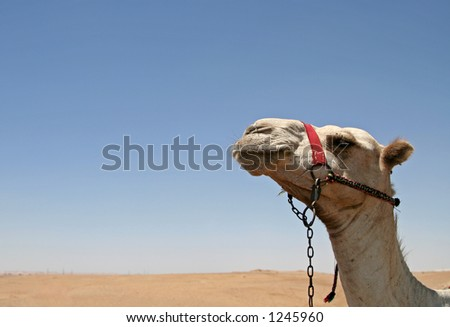 Camel with desert and sky as background - stock photo