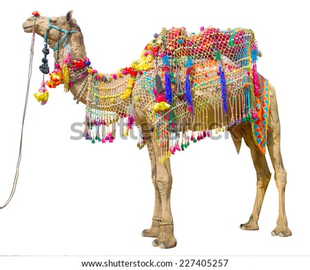Camel with traditional decoration isolated on white - stock photo