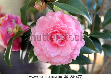 Camellia flower blossoming  - stock photo