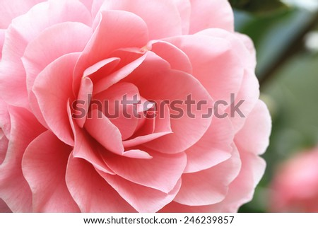 Camellia flower,closeup of pink camellia flower in full bloom in the garden - stock photo
