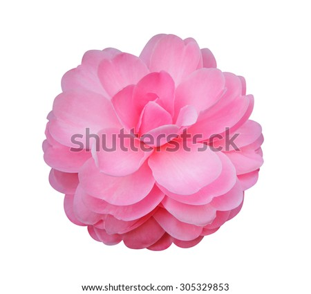 Camellia flower isolated on white background  - stock photo
