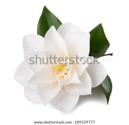 camellia flower with leaf isolated on white - stock photo