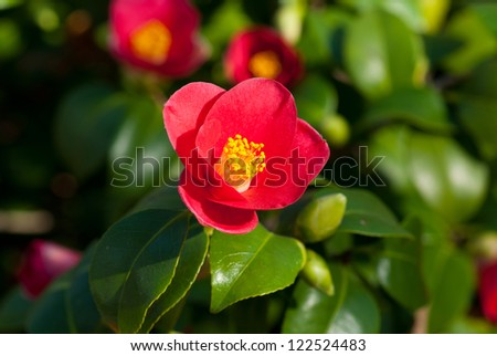 Camellia Japonica blooming in Dresden Pillnitz in March - stock photo