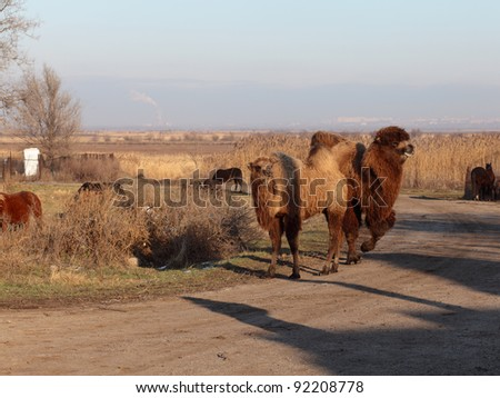 Camels. - stock photo