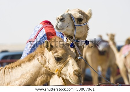 Camels at the races.  A popular sport in Doha, Qatar and the rest of the Middle East - stock photo