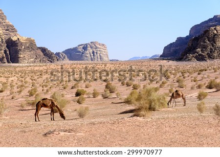 Camels graze in Wadi Rum desert in Jordan. Wadi Rum is a valley cut into the sandstone and granite rock in southern Jordan 60 km (37 mi) to the east of Aqaba; it is the largest wadi in Jordan. - stock photo