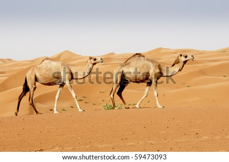 Camels in a Dubai Desert - stock photo