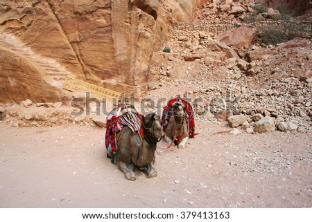 Camels in Petra, Jordan  - stock photo