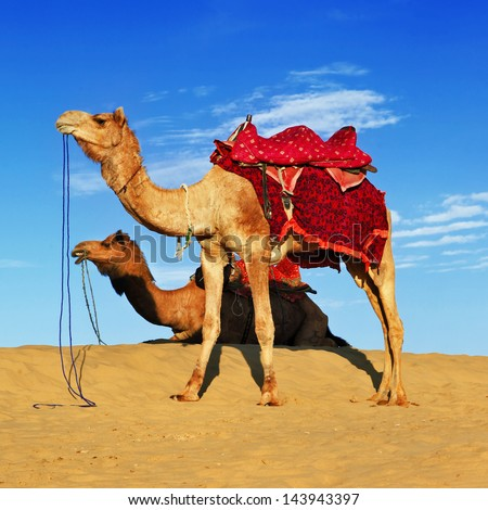 camels in Rajasthan desert, India - stock photo