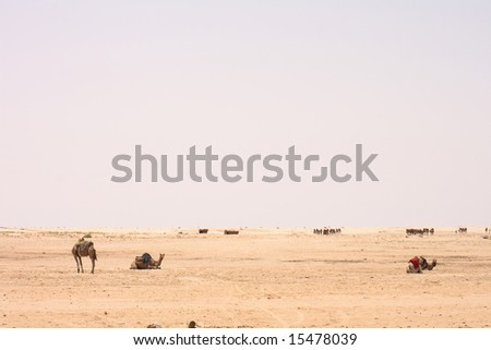 camels in sahara - stock photo