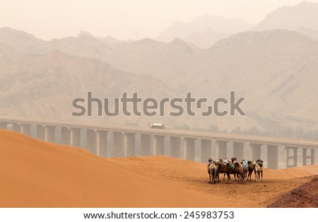 Camels in Tennger desert, Shapotou scenic area, Ningxia province, China - stock photo