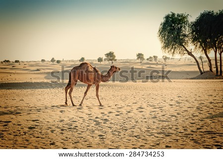 Camels in the desert Dubai. Toned - stock photo
