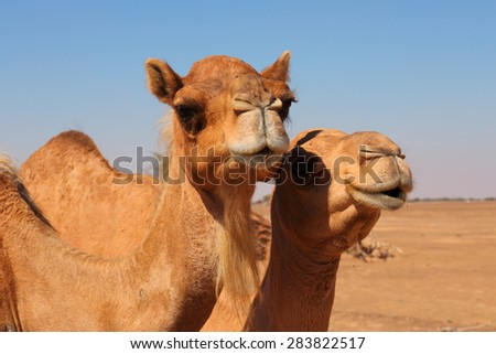 Camels in the desert UAE - stock photo