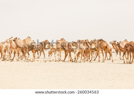 Camels in the moroccan desert - stock photo