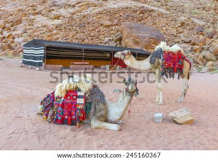 Camels in Wadi Rum desert, Jordan - stock photo