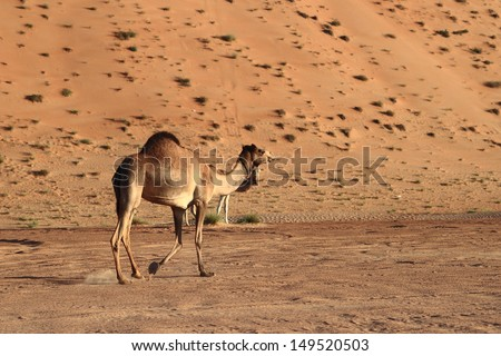Camels in Wahiba Sands, Oman - stock photo