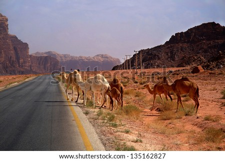 Camels joining a desert road in Wadi Rum, Jordan - stock photo
