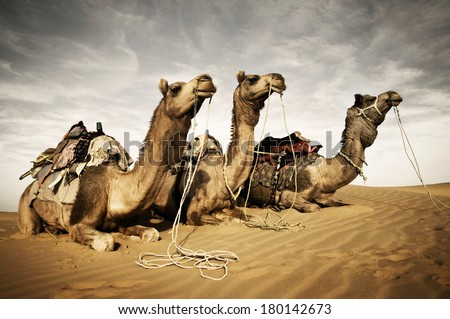 Camels Resting in The Thar Desert, Rajasthan, India - stock photo