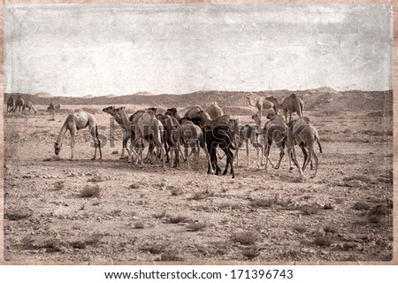 Camels - retro - In the Qatar desert, Old Postcard style - stock photo