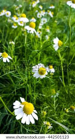 Camomile  flowers  blossoms - stock photo