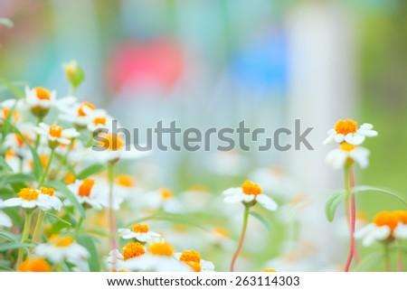 camomile flowers close-up shallow DOF - stock photo