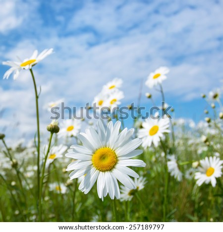 Camomile flowers in the field against the sky with clouds - stock photo