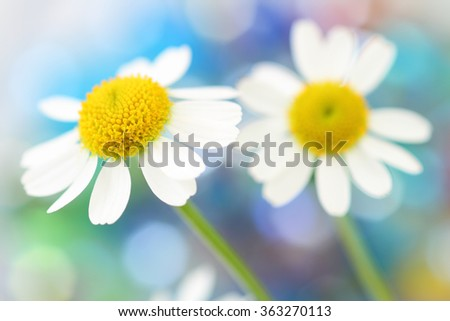 Camomile flowers on colorful background - stock photo