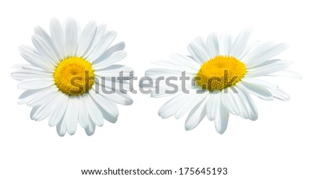 Camomile isolated on white background - stock photo