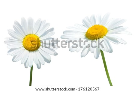 Camomile isolated on white background - stock photo