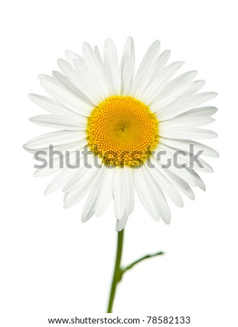 Camomile. It is isolated on a white background - stock photo