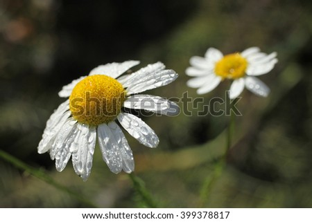 Camomile meadow in clear sunny day in summer - stock photo