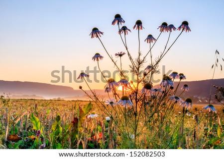 Camomile Sunrise - stock photo