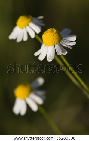 Camomile with small depth of field - stock photo