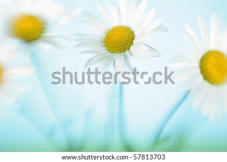 Camomiles in the field against the blue sky - stock photo
