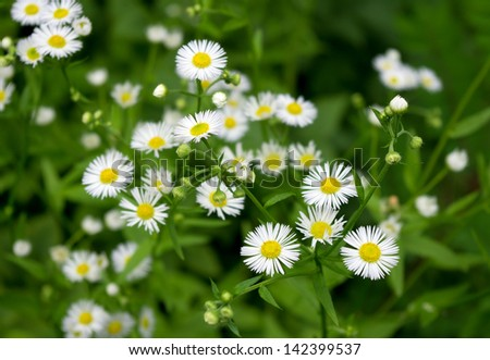 Camomiles on a green background - stock photo